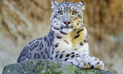 Cats Are Going Extinct: 12 Most Endangered Feline Species