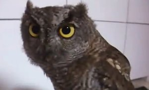 Cute Owl Bobs and Hoots (Video)