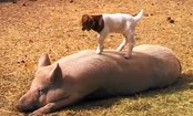 Baby Goat Dances On Lazy Pig (Video)