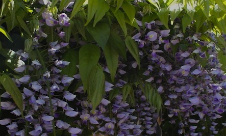 How to Create a Natural Dye from Wisteria Flowers