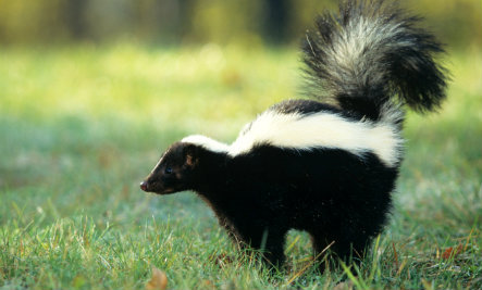Lost Baby Skunk Makes Friends (Video)
