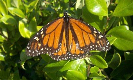 4 Ways to Help Butterflies