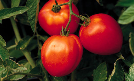 11 Reasons to Love Tomatoes