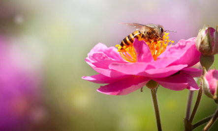 'Bee-Friendly' Plants That Could Kill Bees