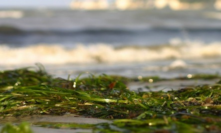 6 Tips for Using Seaweed in the Garden
