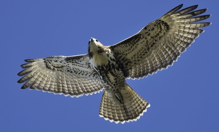 Hawk Pays a Visit…