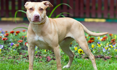Do Pit Bulls Require a Specific Owner?