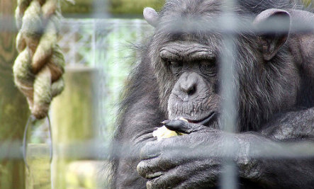 Should Chimpanzees Have Human Rights?
