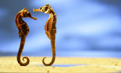 Why Seahorses Are One of the Deadliest Creatures in the Sea