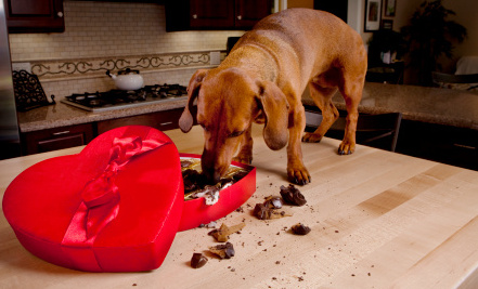How Dangerous Is Chocolate For Dogs? | Care2 Healthy Living