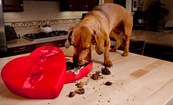 How Dangerous is Chocolate for Dogs?