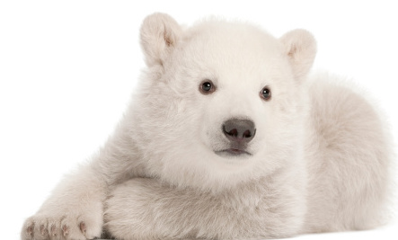 8 Extraordinary Facts About Polar Bears For International Polar Bear Day