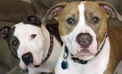 For Pit Bull Owners, Housing Can Be Hard to Find