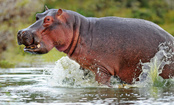 Heroic Hippo Saves Gnu From Crocodile