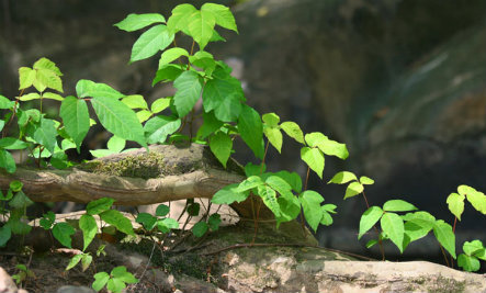 How to Treat Poison Ivy Naturally