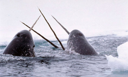 Why Do Narwhals Have That Long Tusk?