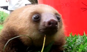 Orphaned Sloths Squeak for One Adorable Minute (Video)