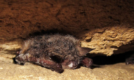 Why Half of U.S. States Have a Deadly Bat-Killing Disease