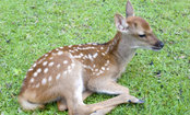 Veterinarian Rescues Blind, Dying Deer (Video)