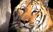 This Tearjerker is Worth Watching for the Truth About Tigers (Video)