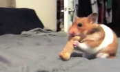 Hamster Eats 2 Dog Biscuits (They're as Big as Him!)