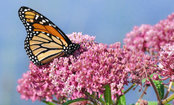 The Beautiful Reason You Should Plant Milkweed