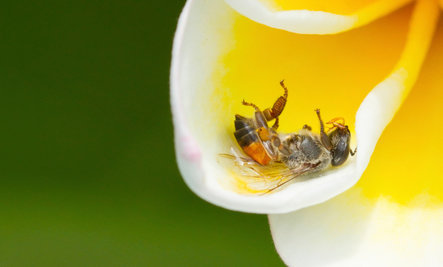 Bee-Killing Pesticide More Dangerous Than Previously Believed
