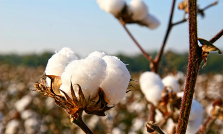 Why Buy Organic Cotton?