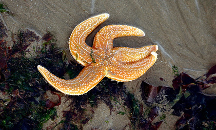 Mysterious Starfish 'Goo' Problem Is Getting Worse