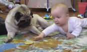 Pug & Baby's Legendary Cookie Battle (Video)