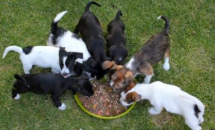 can a litter of puppies have more than one father care2 healthy