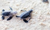 WATCH: Baby Sea Turtles Race to the Ocean!