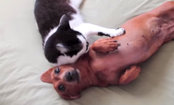 Adorable Cat Calms Down Excited Dachshund (Video)