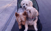 Baby Stroller Saves Dogs from Hot Asphalt — Caption This Cute Photo!