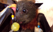 Grey-Headed Flying Fox Loves Grapes (Video)