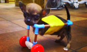 Tiny 2-Legged Chihuahua Uses Wheelchair Made of Toys (Video)
