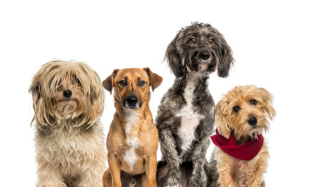 Mutt Census Provides Insight Into Which Dogs Are Most Popular in ...
