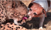 Rescue Dog Kisses & Nuzzles Cute Cheetah (Video)