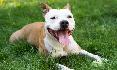 The Real History of Pit Bulls Might Surprise You