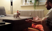 French Bulldog Dramatically Leaps for Love (Video)