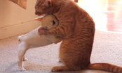 Little French Bulldog & Cat Play-Wrestle (Video)