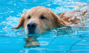 Dog Blows Bubbles in Swimming Pool (Video)