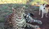 Jaguar & Dog Absolutely Love Each Other (Video)