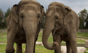 Elephants Dance to Violin Music (and It Didn't Happen in a Circus)