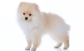 Paris Hilton Adopts World's Tiniest Pomeranian Worth $13,000