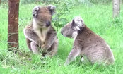 Koalas: Even When They Fight, It's Cute (Video)