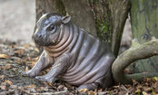 Drop Everything and Look at This Adorable Baby Hippo (Video)