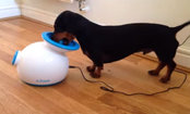 Dachshund Doesn't Need You to Play Fetch With Him (Video)