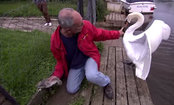 He Rescued a Baby Swan. The Price? An Angry Mom (Video)