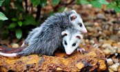 10 Reasons to Love Opossums